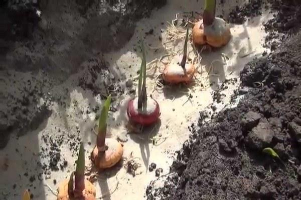 посадка луковиц гладиолусов