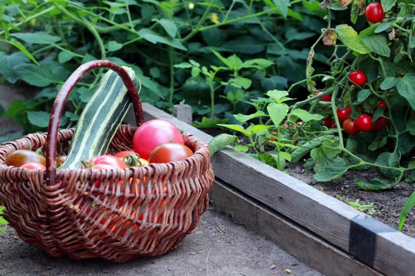 помидоры и кабачки