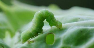 Гусеница на капусте