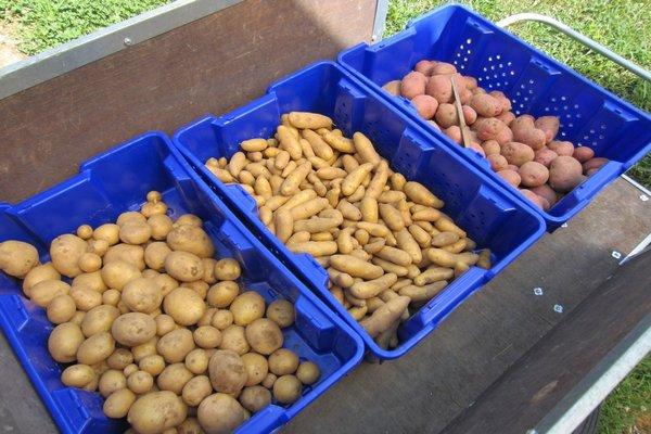 сортированный картофель