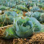 Когда убирать капусту с огорода