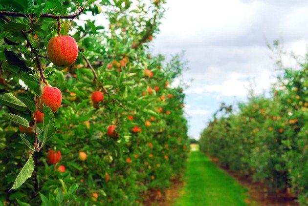 Обработка яблонь осенью от болезней и вредителей