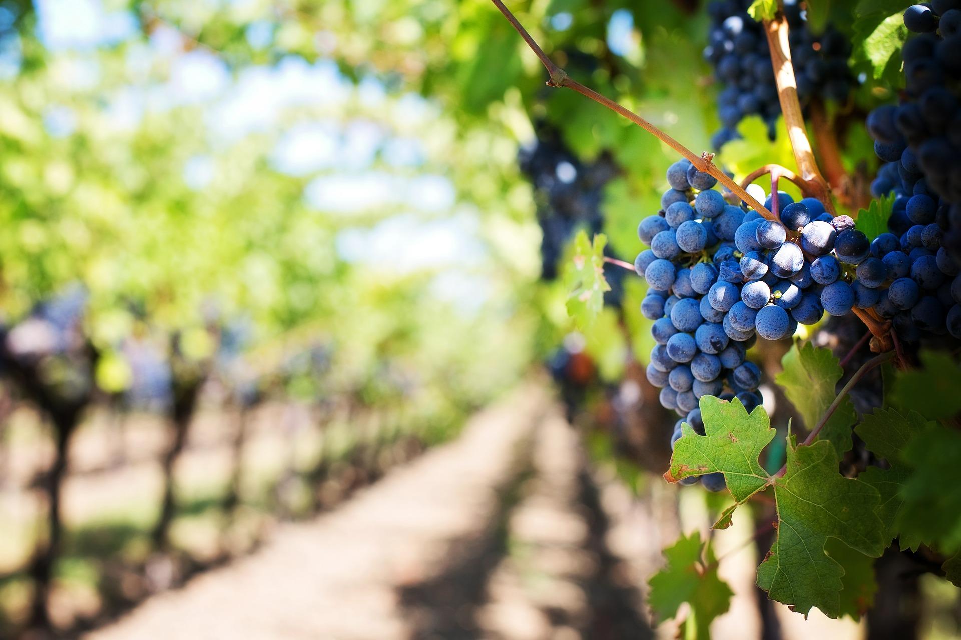 Выращивание винограда