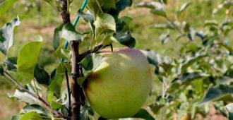 Правила ухода за молодыми яблонями