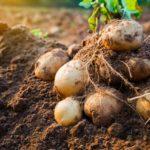 плохой урожай картофеля