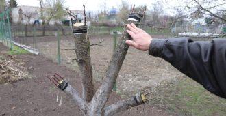Прививать плодовые деревья