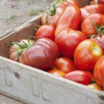 Сорта томатов для длительного хранения