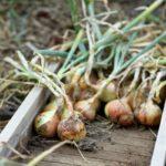 Урожай репчатого лука