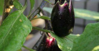 Выращивание баклажан в теплице