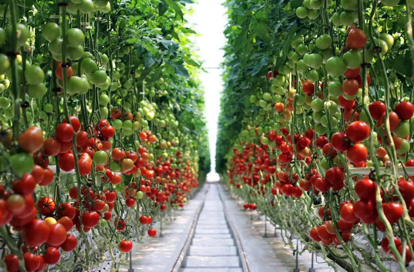 Как повысить урожайность помидор в теплице