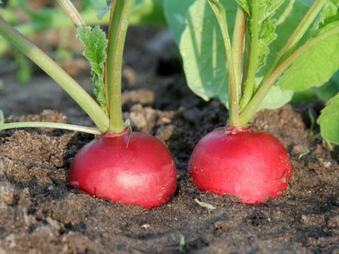Тонкости выращивания редиски